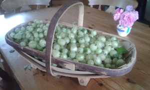 Gooseberries 2015