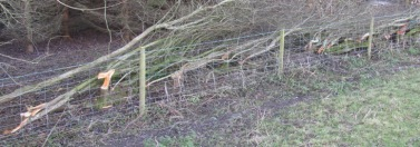 Line of a laid hedge before bindings
