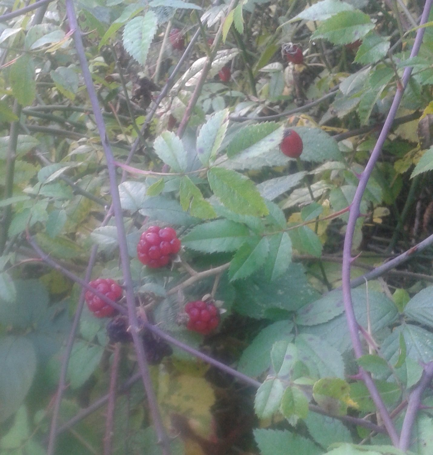 20161019_red-blackberries