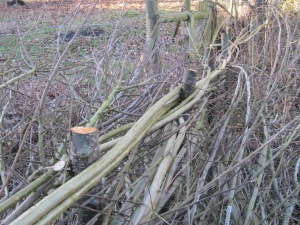 Willow bindings on a laid hedge