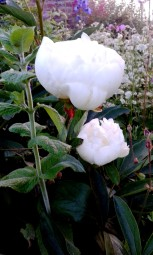 Highly fragrant double white peony