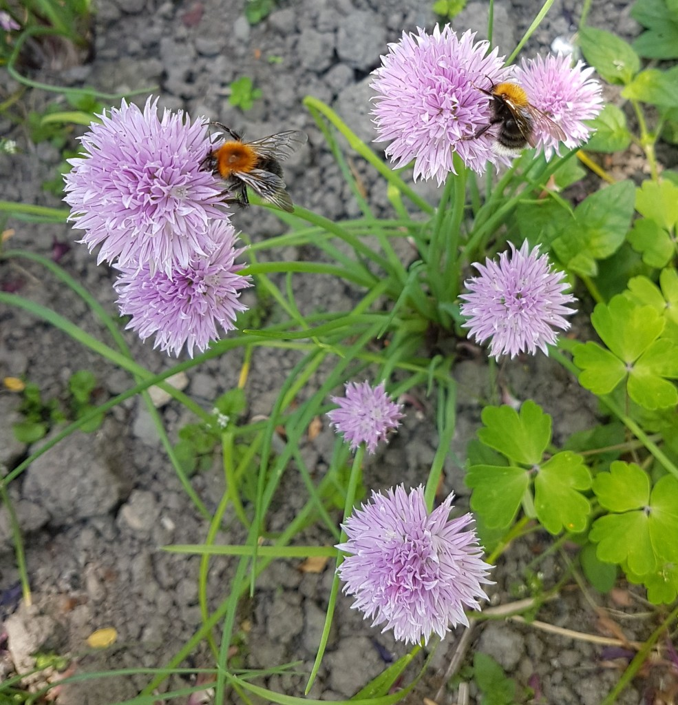 Chive flowers with bees collecting nectar